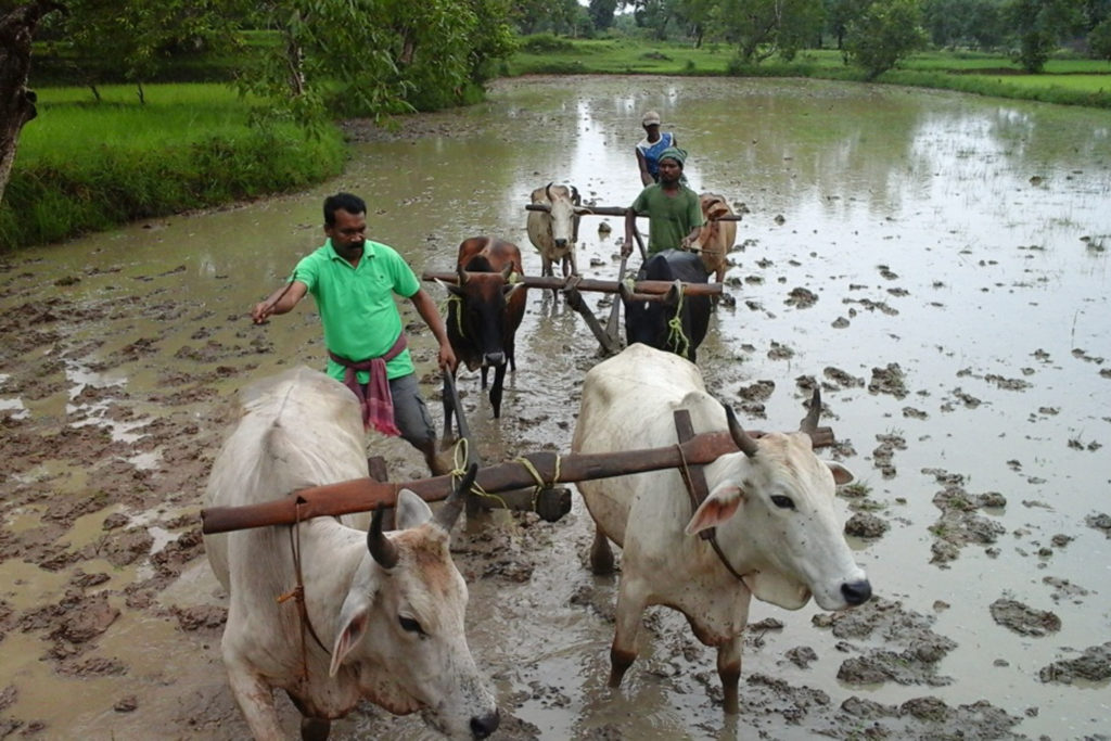 Former Jharkhand Chief Minister Madhu Koda ploughs his paddy field at Chaibasa